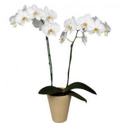 Orquidea Nature